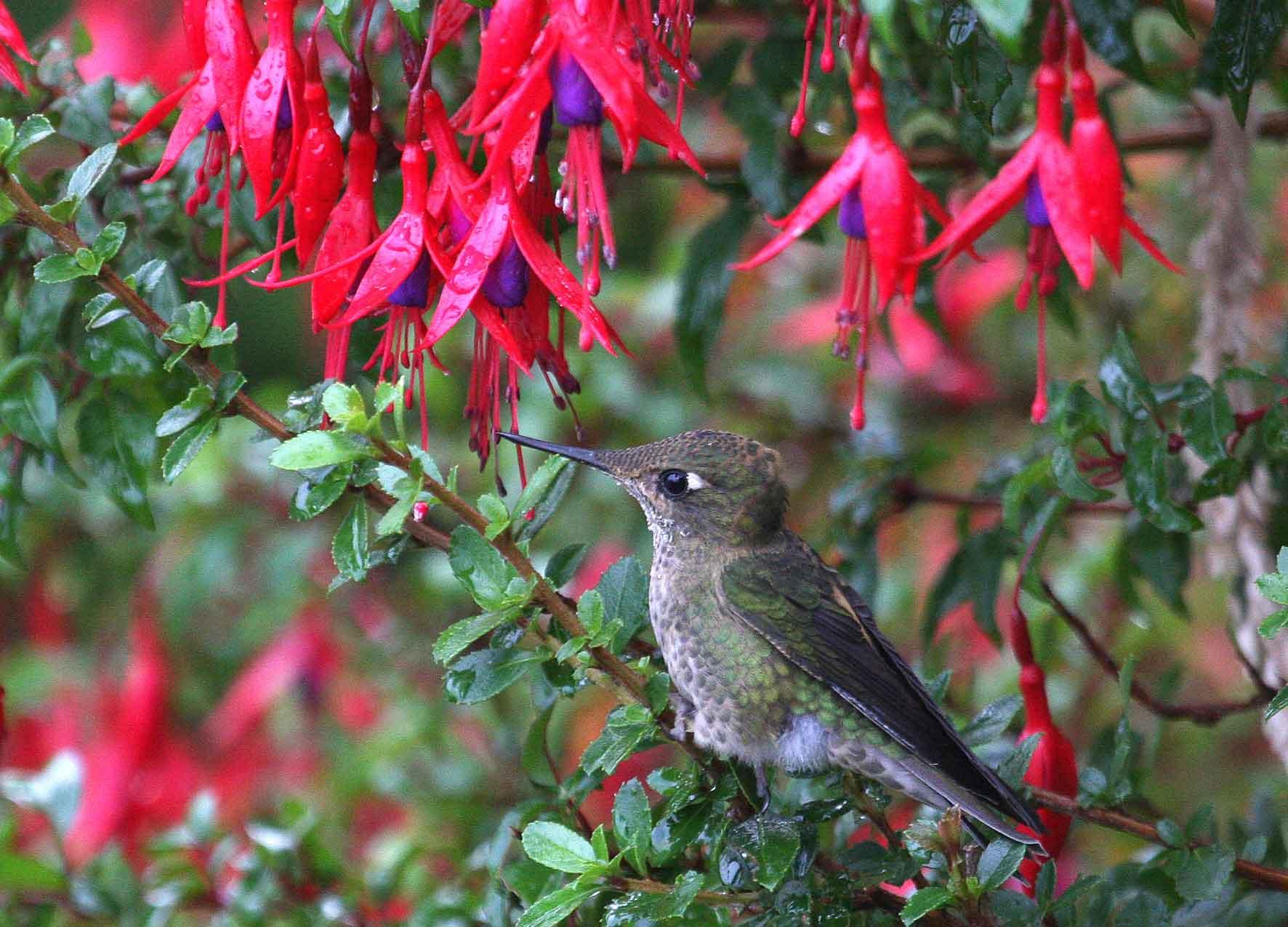 Colibri Patagonie