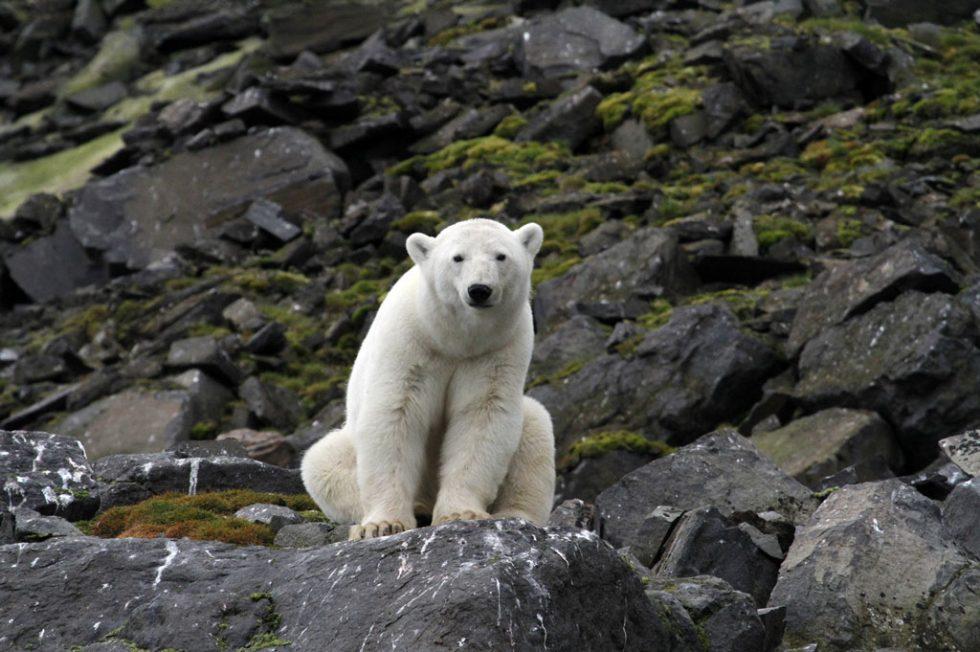 Impacts du réchauffement global sur la biodiversité polaire et répercussions sous nos latitudes